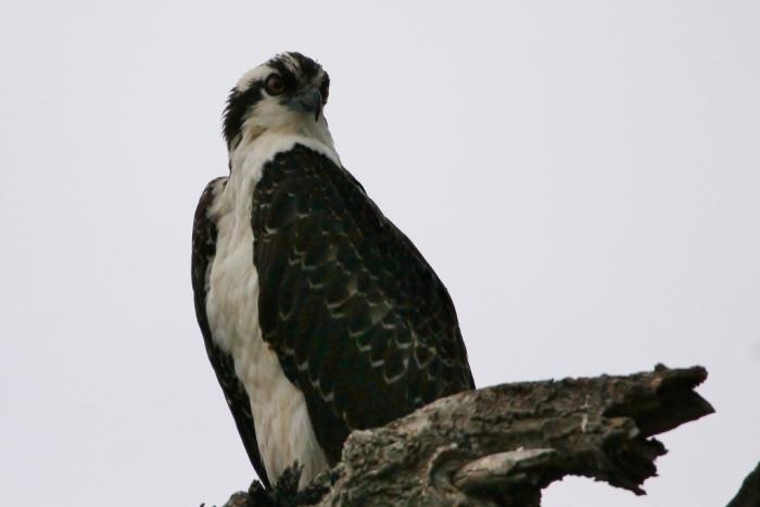 Osprey (12) (1024x684)