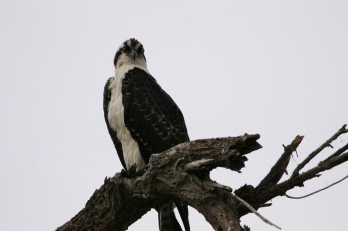 Osprey (14) (1024x683)
