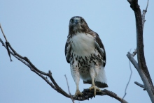 Red-tailed Hawk (34) (1024x691)