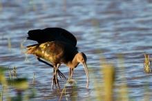 white-faced-ibis-15-1024x684