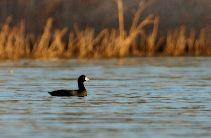 american-coot-19-1024x670