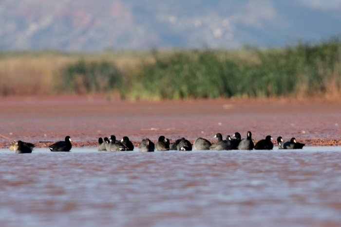 american-coot-21-1024x684