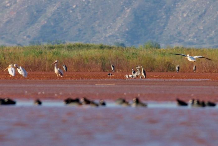 great-blue-heron-american-avocet-american-white-pelican-2-1024x684