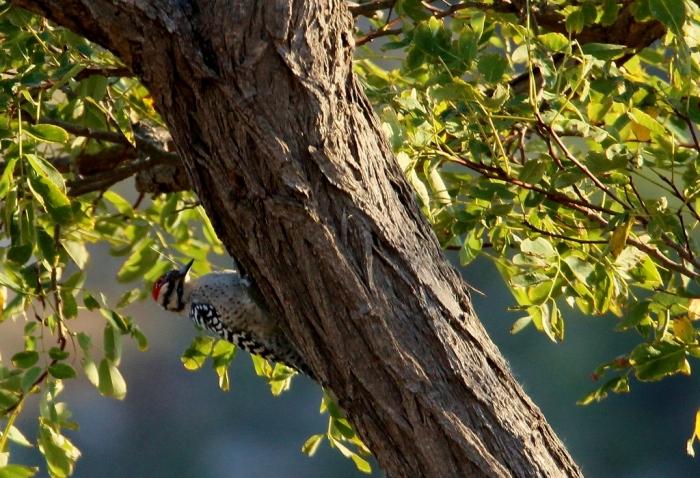 ladder-backed-woodpecker-13-1024x700
