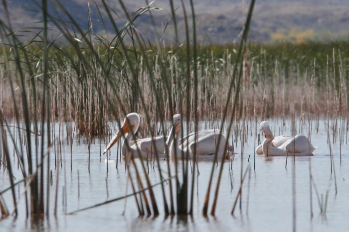 american-white-pelican-144-1024x684