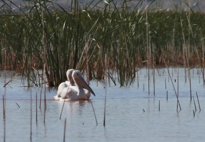 american-white-pelican-146-1024x712