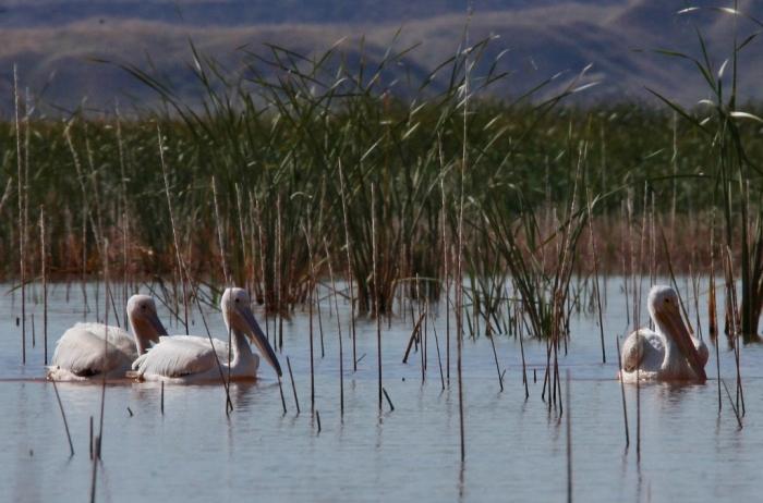 american-white-pelican-147-1024x677
