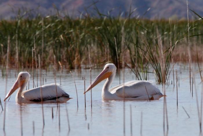 american-white-pelican-149-1024x684