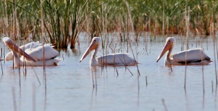 american-white-pelican-151-1024x523