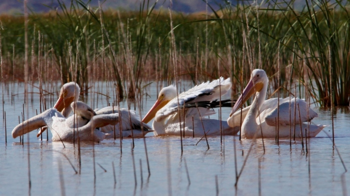american-white-pelican-153-1024x575