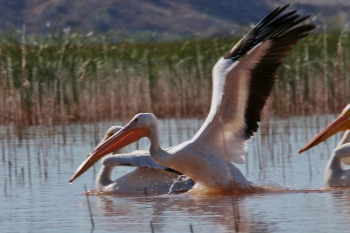 american-white-pelican-165-1024x684
