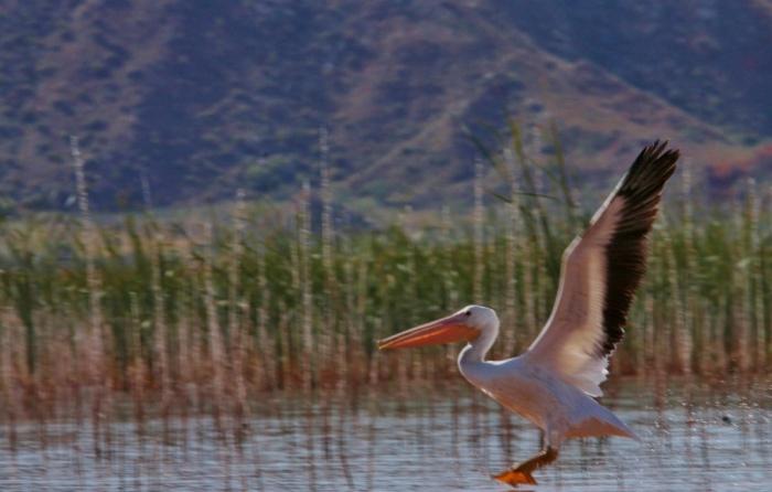 american-white-pelican-166-1024x653