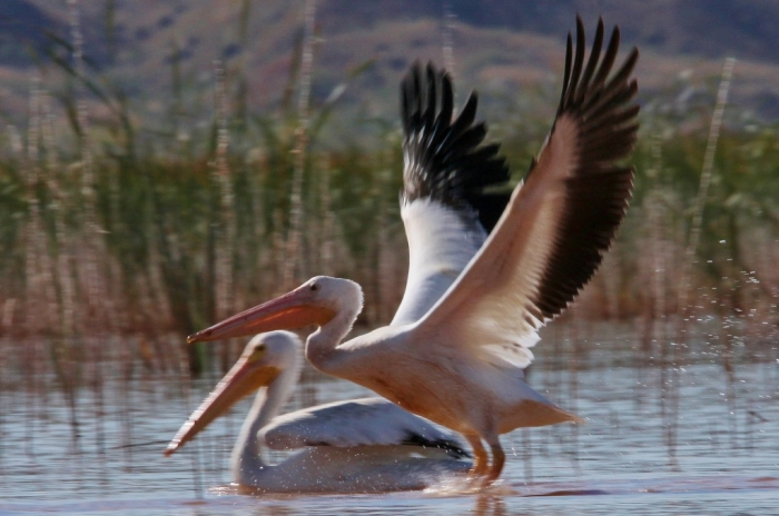american-white-pelican-169-1024x680