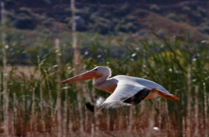 american-white-pelican-171-1024x672