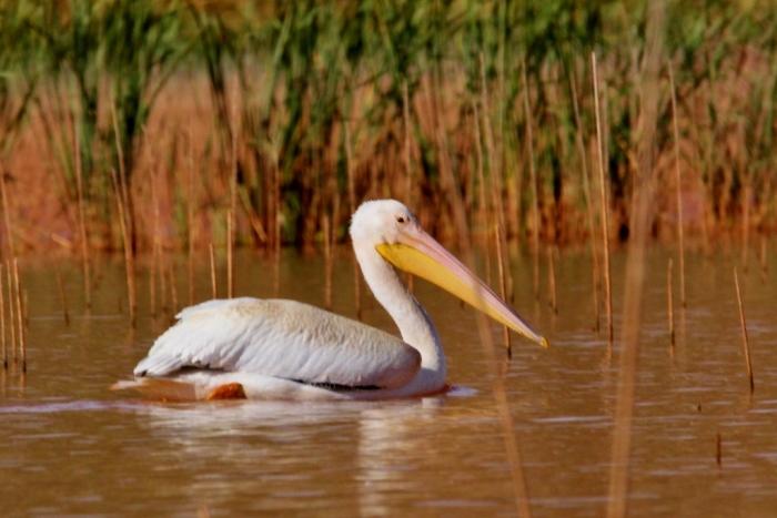 american-white-pelican-173-1024x684