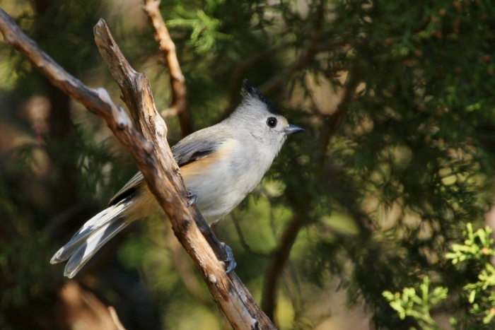 black-crested-titmouse-9-1024x684
