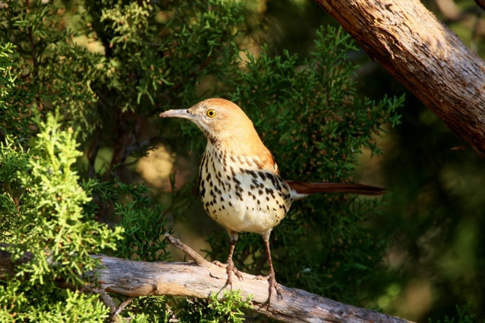 brown-thrasher-17-1024x683