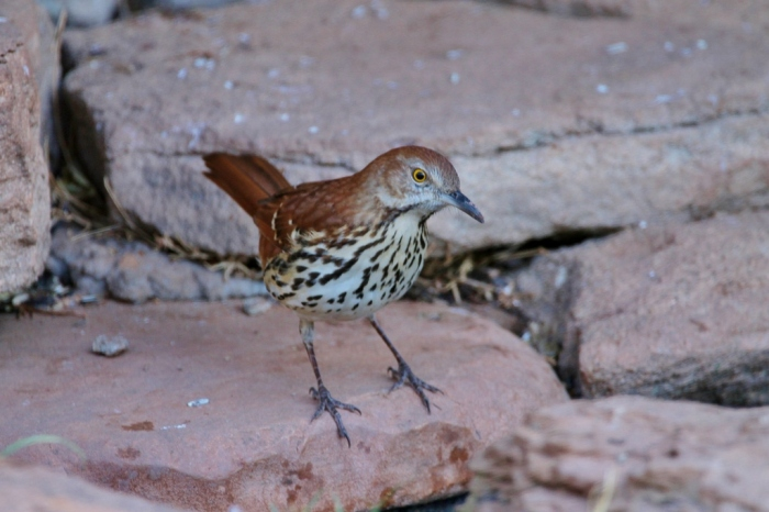 brown-thrasher-18-1024x683