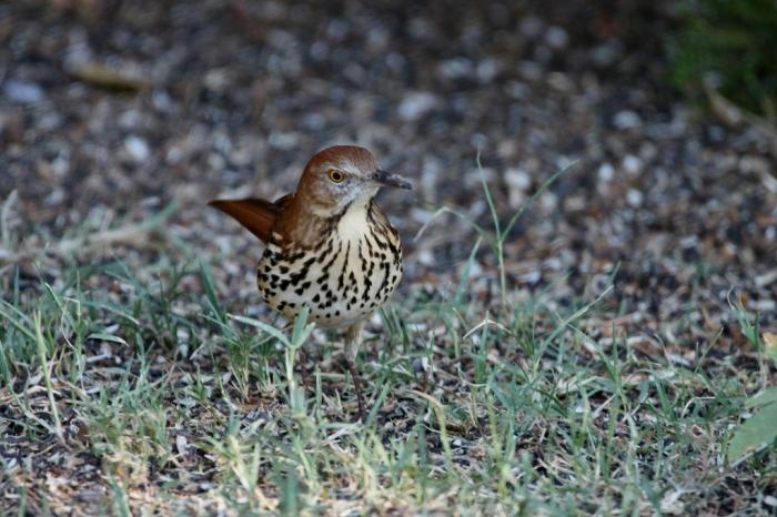 brown-thrasher-19-1024x683
