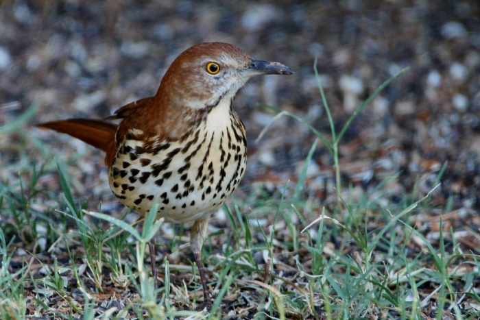 brown-thrasher-20-1024x684
