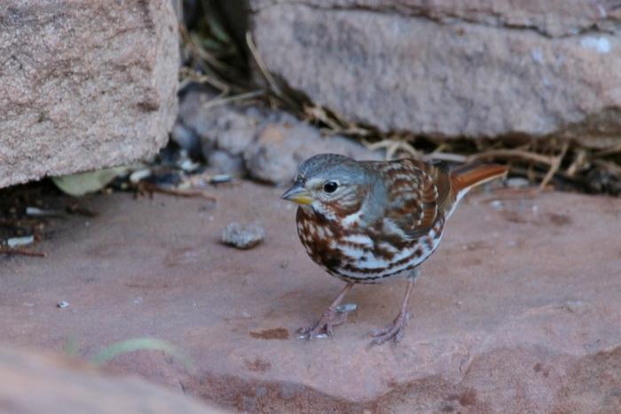 fox-sparrow-2-1024x684