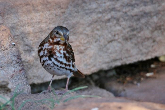 fox-sparrow-3-1024x684