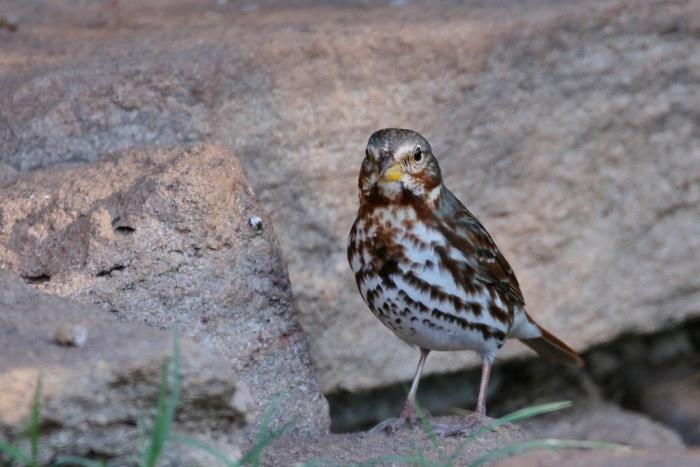 fox-sparrow-4-1024x684