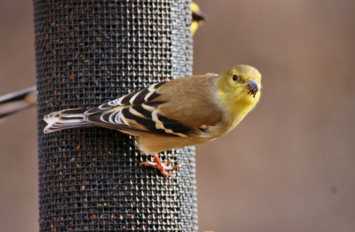 american-goldfinch-7-1024x670