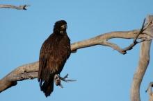 bald-eagle-juvenile-3-1024x684