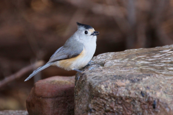 black-crested-titmouse-15-1024x684