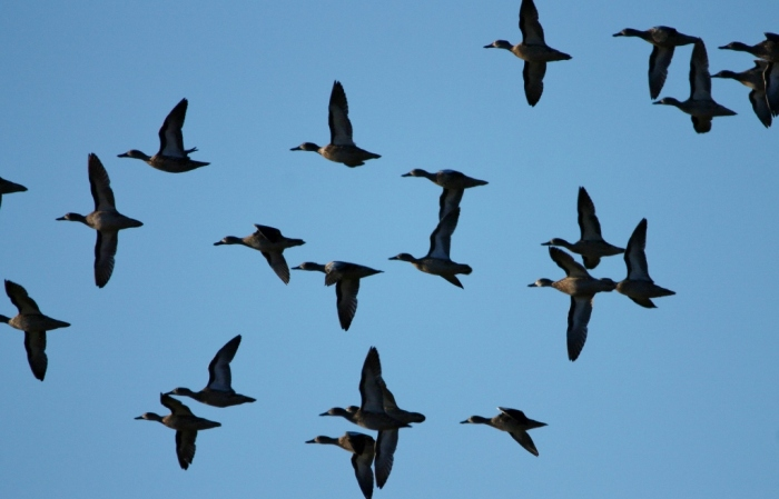 blue-winged-teal-57-1024x657