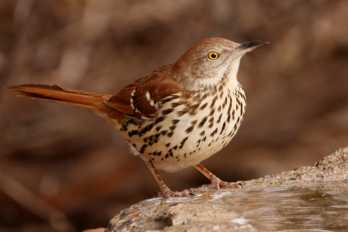 brown-thrasher-22-1024x684