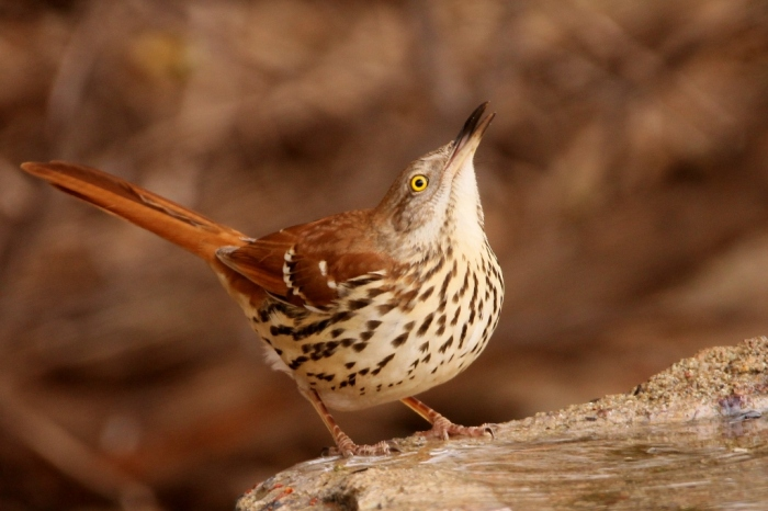 brown-thrasher-23-1024x683