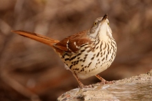 brown-thrasher-24-1024x684