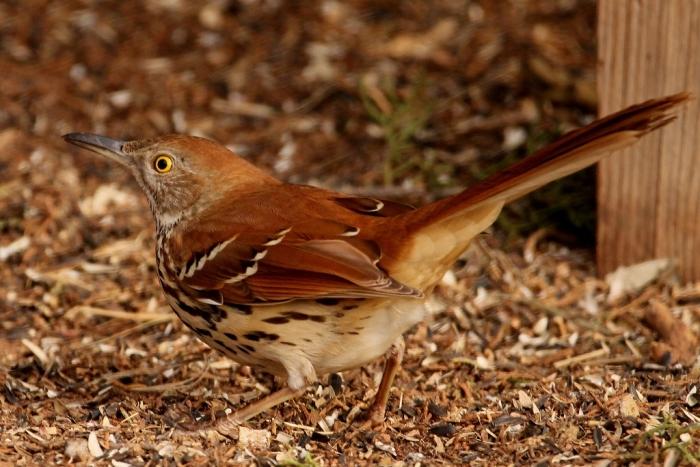 brown-thrasher-25-1024x684