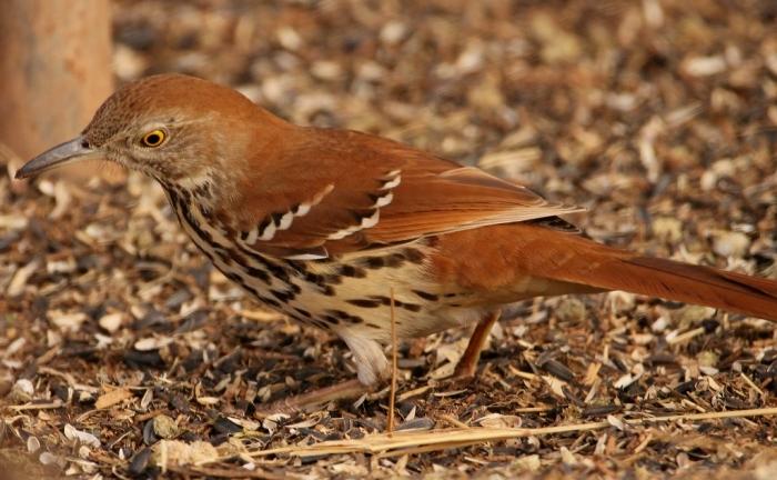 brown-thrasher-26-1024x632