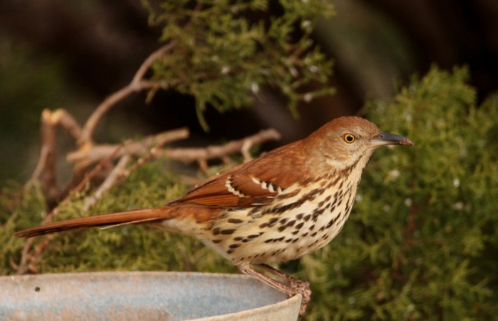 brown-thrasher-27-1024x660