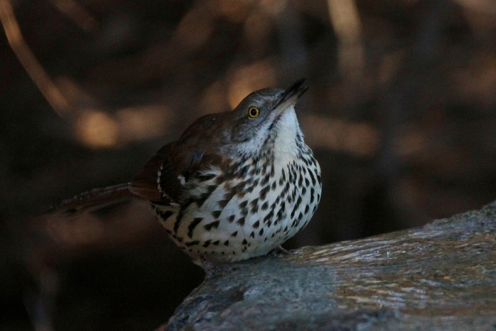 brown-thrasher-34-1024x684