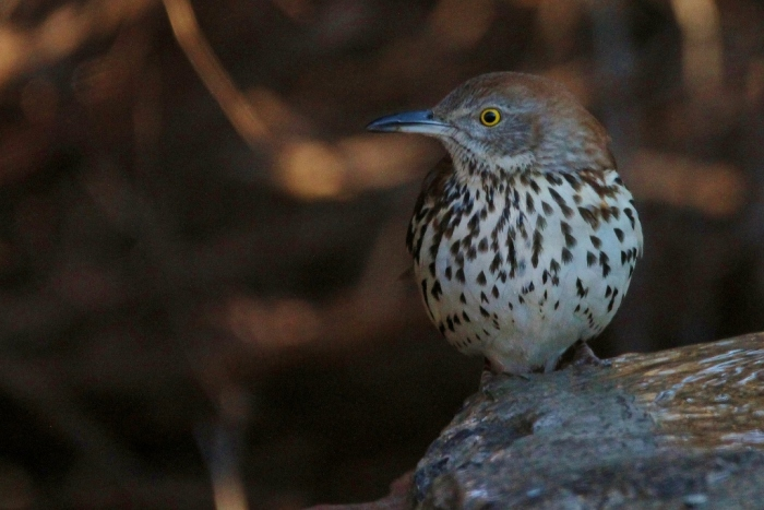 brown-thrasher-36-1024x684