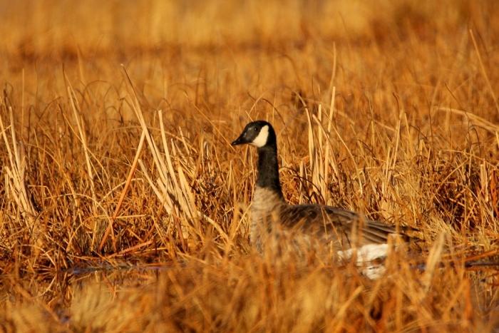 cackling-goose-2-1024x684