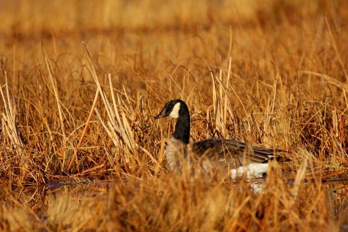 cackling-goose-3-1024x684