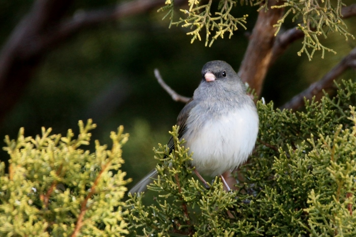 dark-eyed-junco-1-1024x684