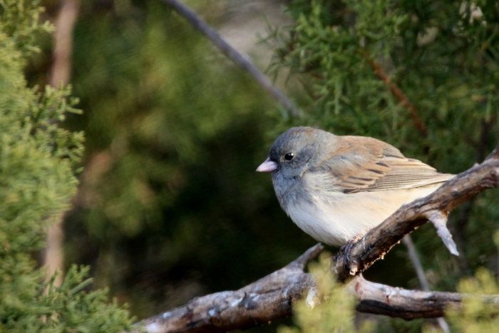 dark-eyed-junco-3-1024x684