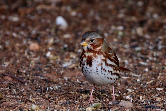 fox-sparrow-2