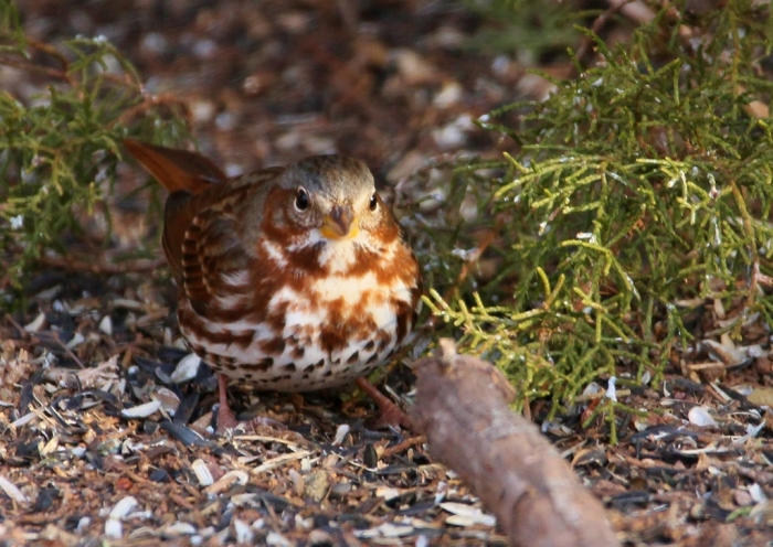 fox-sparrow-8-1024x726