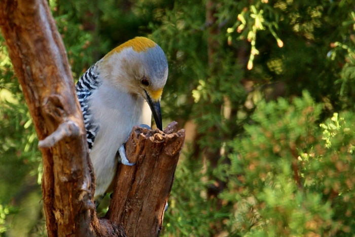 golden-fronted-woodpecker-31-1024x684