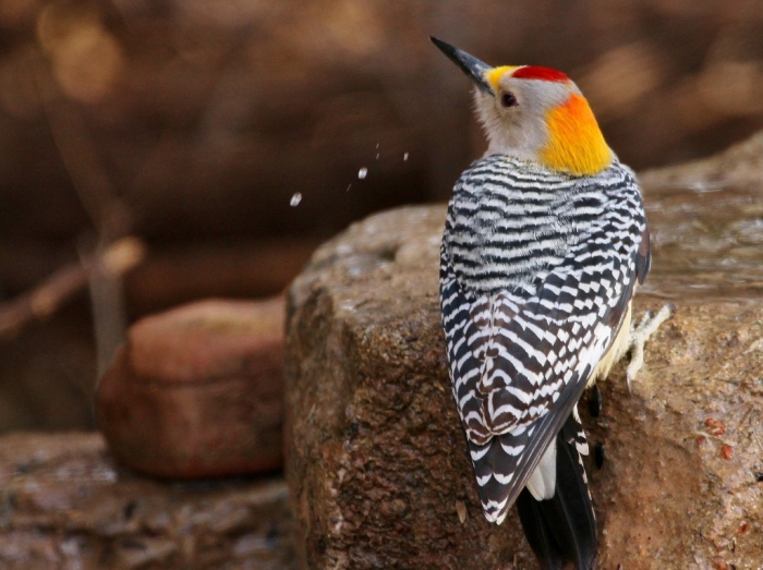 golden-fronted-woodpecker-34-1024x766