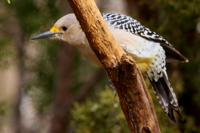 golden-fronted-woodpecker-36-1024x684