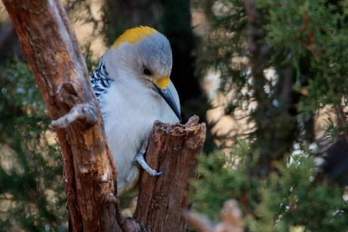 golden-fronted-woodpecker-41-1024x684