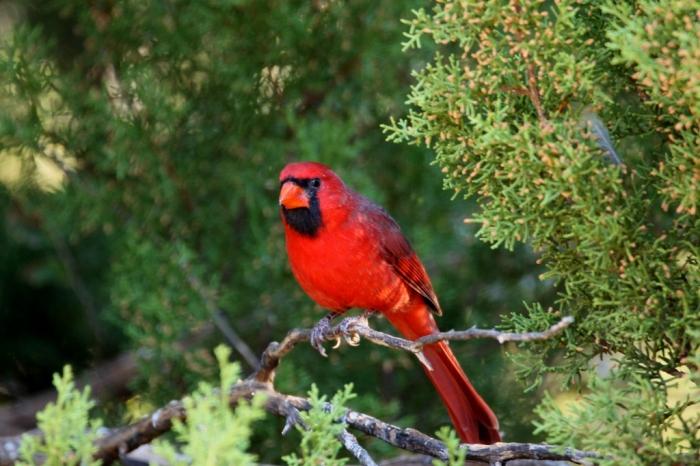 northern-cardinal-74-1024x683